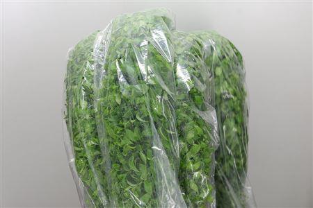 <h4>Dec Asparagus Asparagoides</h4>