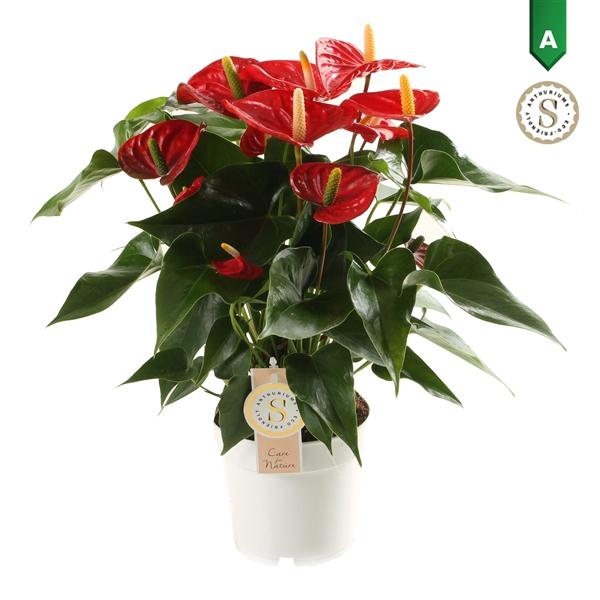 <h4>Anthurium Andr. Royal Champion</h4>