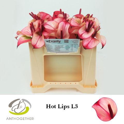 <h4>Anthurium  'Pr Amalia Hot Lips'</h4>