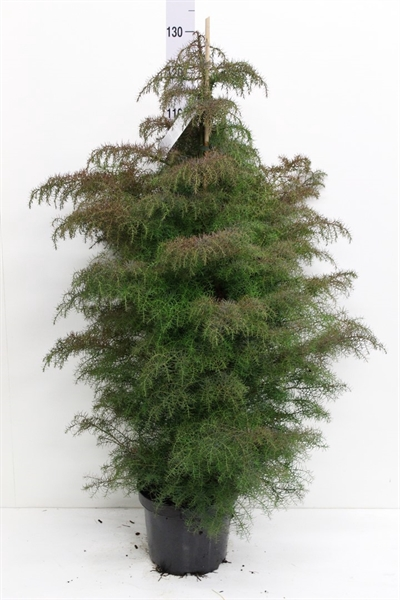 <h4>Cryptomeria japon. 'Elegans'</h4>
