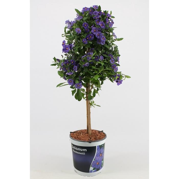 <h4>Solanum Rantonnetti stam</h4>