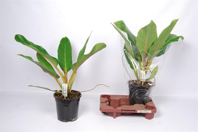 <h4>Philodendron Fatboy Yellow 19Ø 60cm</h4>