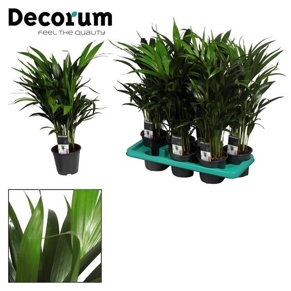 <h4>Dypsis lutescens (Areca) (Decorum)</h4>