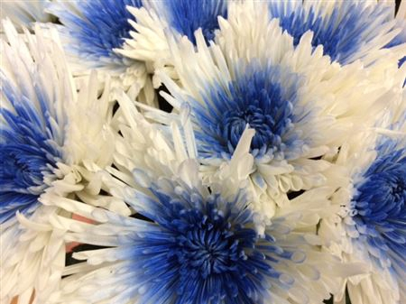<h4>Chr G Ana White + Blue</h4>