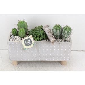 arr. JS Cactus - Ker. rechth. stip