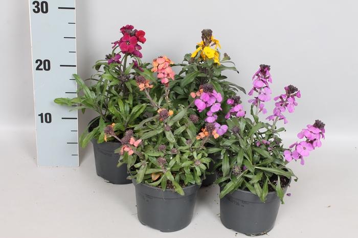 <h4>vaste planten 12 cm Erysimum Diverse</h4>