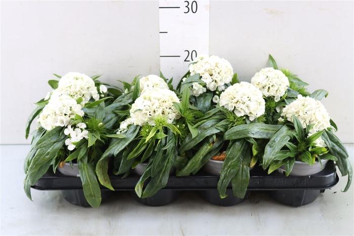 <h4>Dianthus Barbatus wit</h4>