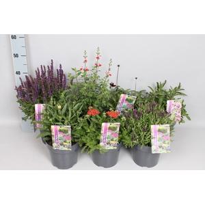 vaste planten 19 cm  Divers