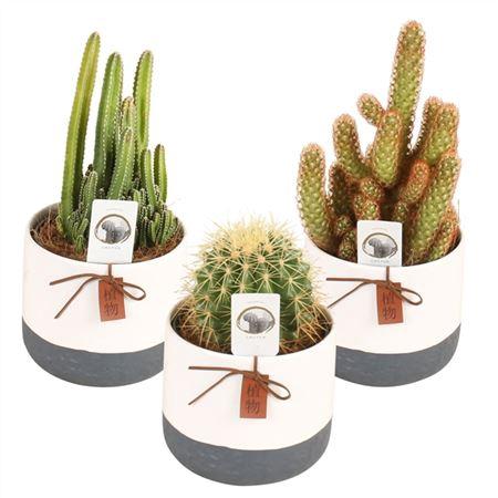 <h4>Cactus A41230196 Gemengd Keramiek Twotone</h4>