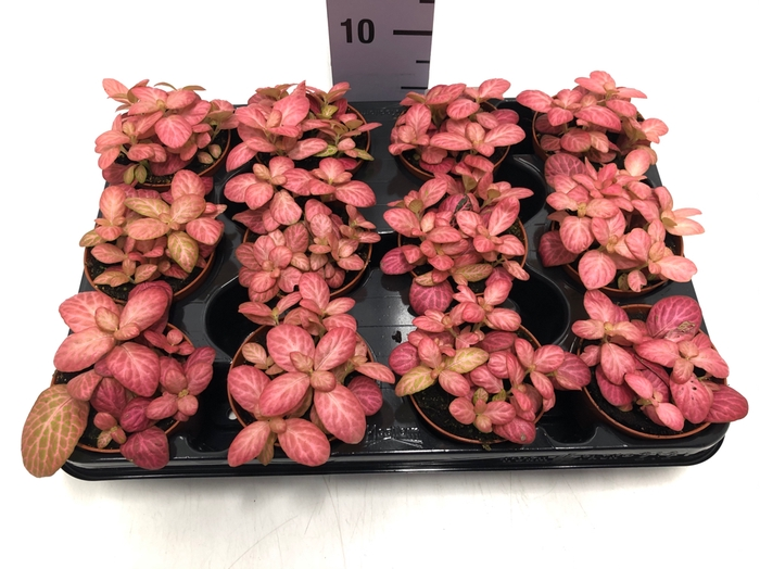 <h4>Fittonia Pink Special 8,5Ø 10cm</h4>