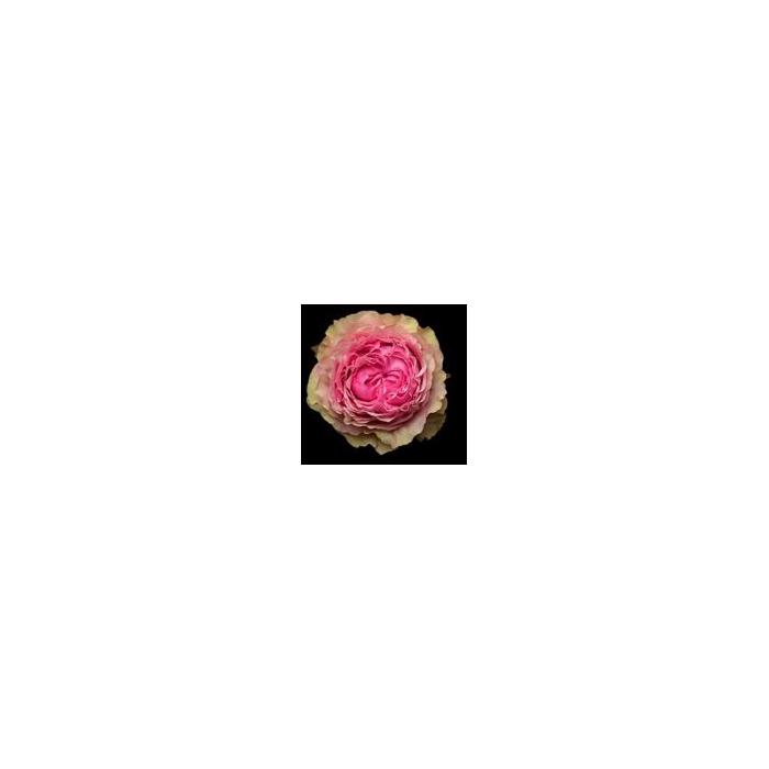<h4>Rosa Gr. DFR115</h4>