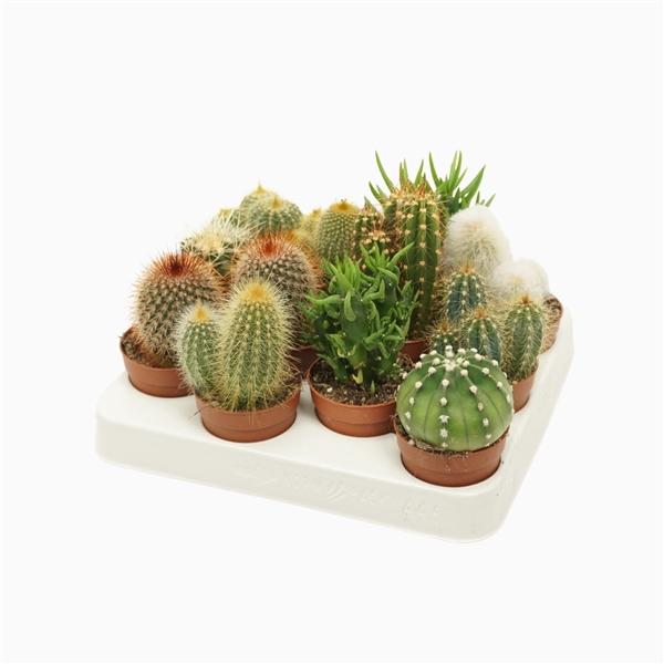 <h4>Cactus mix 7 cm.</h4>