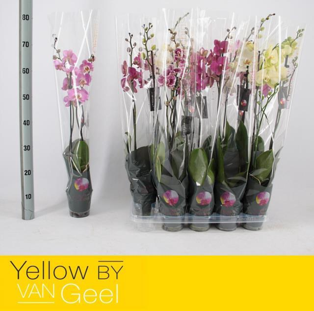 <h4>Phalaenopsis mix</h4>