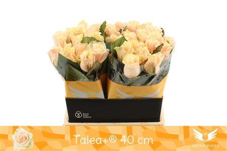 <h4>R Gr Talea+</h4>