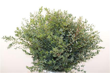<h4>Euca Parvifolia 200gr Per Bos</h4>