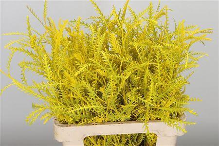 <h4>Dec Grevillea Ivanhoe Yellow</h4>