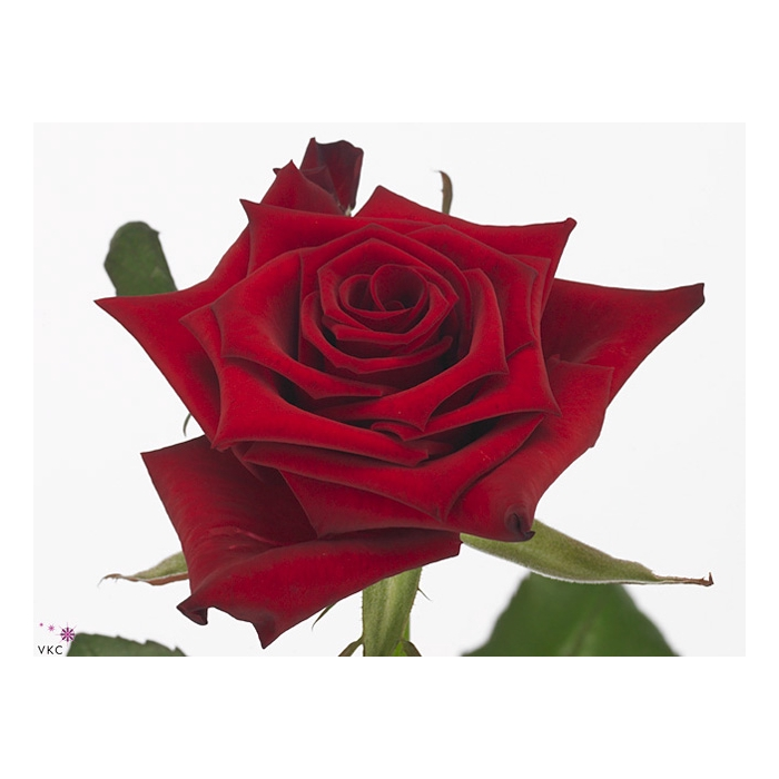 <h4>Rosa Gr. Red Paris</h4>