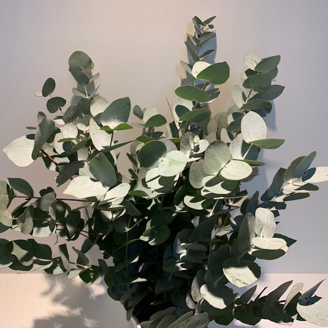 <h4>Greens - Eucalyptus cinerea (p/bunch)</h4>