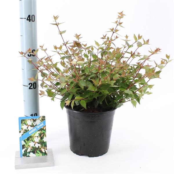 <h4>Abelia grandiflora 'Sherwood'</h4>