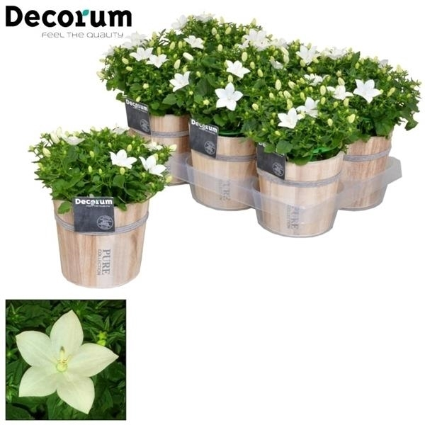 <h4>Campanula 'Atlanta' Decorum Wood</h4>