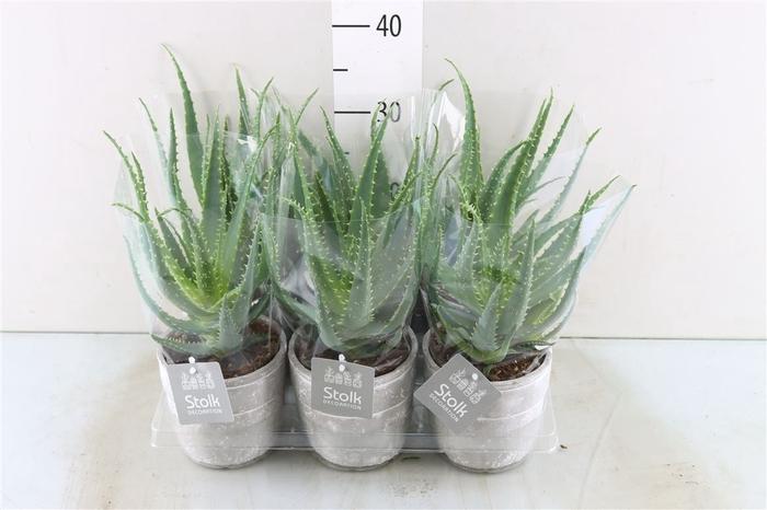 <h4>Aloe Arborescens Stone</h4>