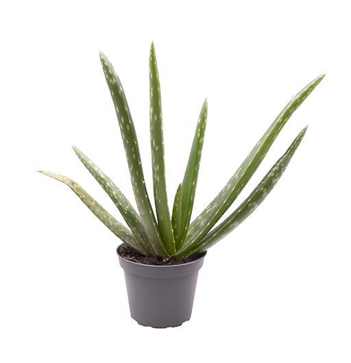 <h4>Aloe Vera 6Ø 20cm</h4>