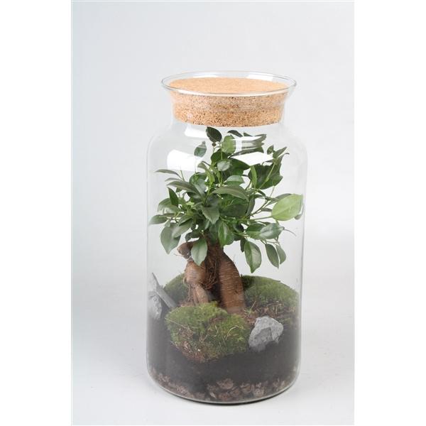 <h4>Ficus ginseng terrarium 90173</h4>