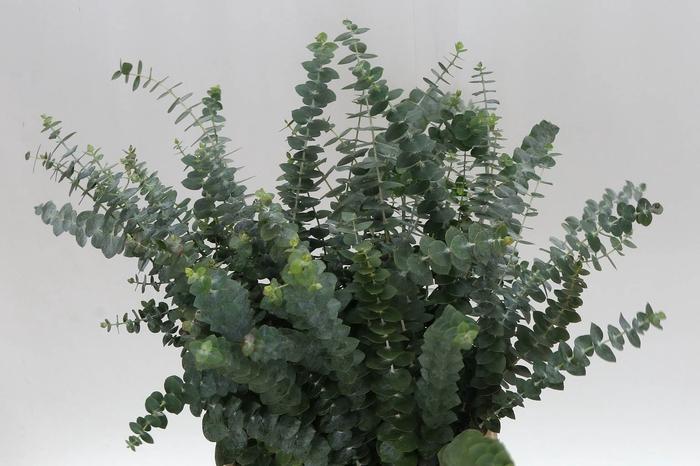 <h4>Eucalyptus Baby 55cm (P. Bos) Z A</h4>