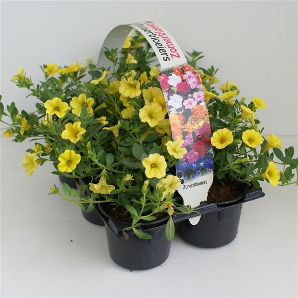 <h4>Calibrachoa geel 6p</h4>
