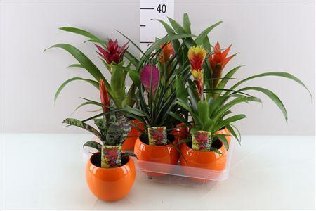 <h4>Bromelia Gemengd Orange Bolpot</h4>