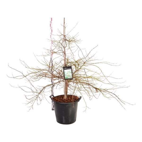<h4>Acer pal. 'dissectum'</h4>