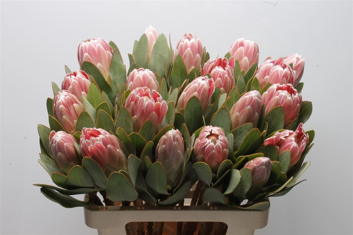 <h4>Protea Penny Pink</h4>