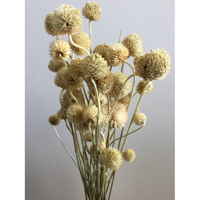 <h4>DRIED FLOWERS - WILD DAISY NATURAL</h4>