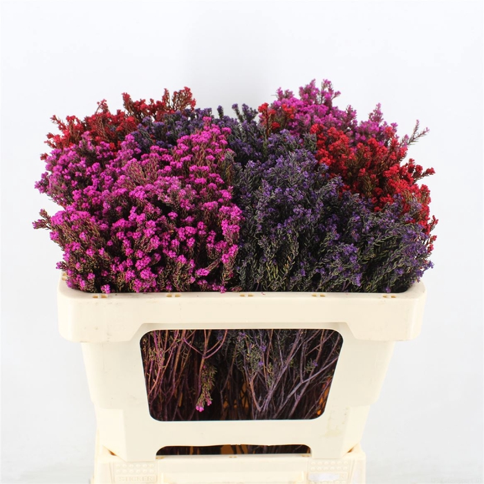 <h4>Rock Phylica Mix Colours</h4>