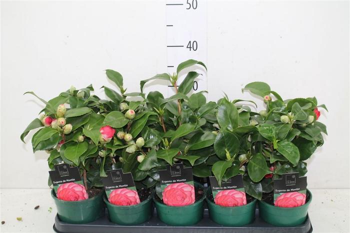 <h4>Camellia Japonica Rood</h4>