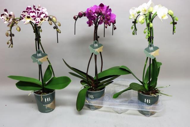 <h4>Phalaenopsis mix 12Ø 50cm 3 pędy 21+ kwiatów</h4>