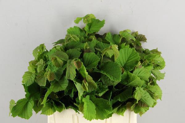 <h4>Corylusblad Aurea Groen</h4>