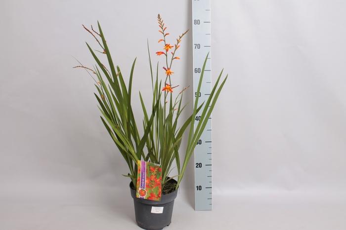 <h4>vaste planten 19 cm  Crocosmia Columbus</h4>