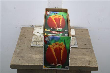 <h4>Bulb Tulp Fr Fabio X7</h4>
