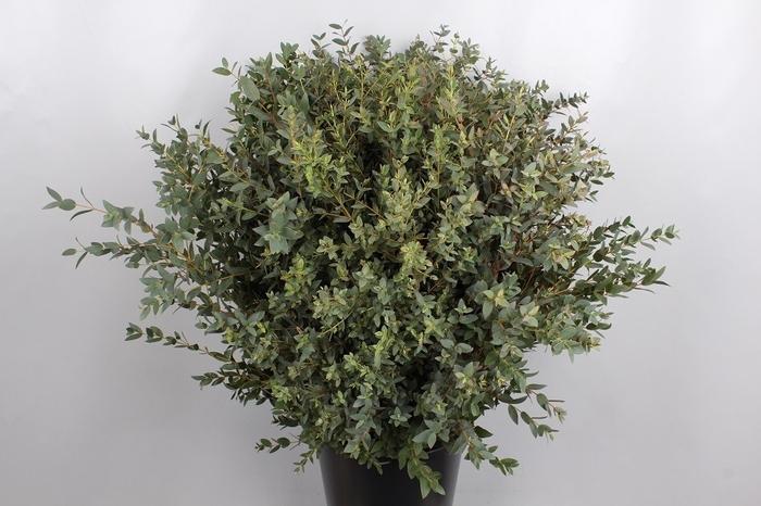 <h4>Euc. Parvifolia</h4>