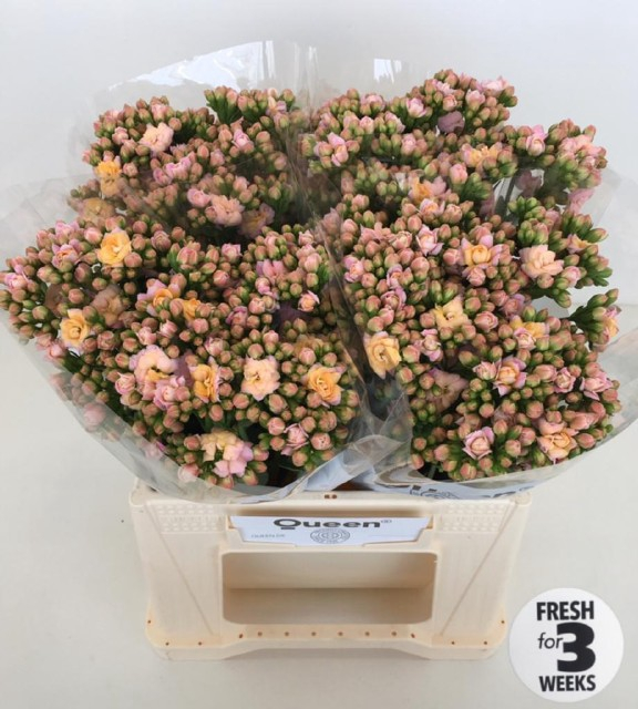 <h4>KAL LACE PINK MEADOW</h4>
