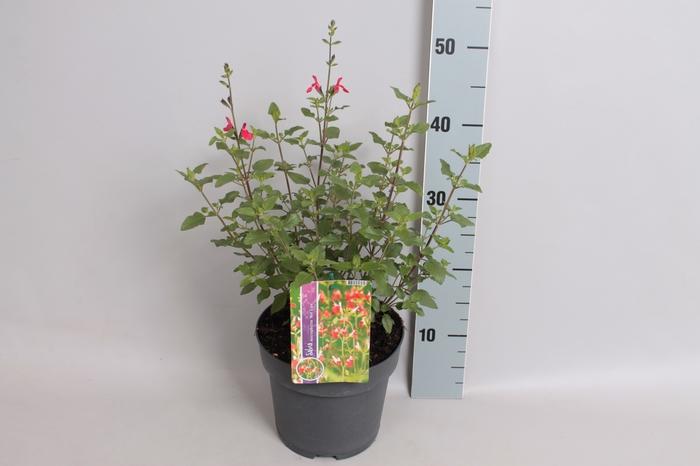 <h4>vaste planten 19 cm  Salvia geggii 'Hot Lips'</h4>
