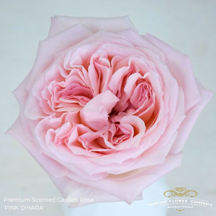 R GR SCENTED PINK O HARA