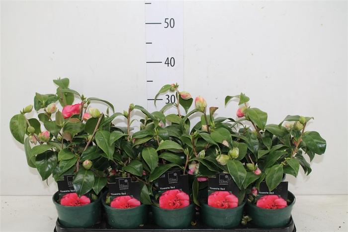 <h4>Camellia Japonica Pink</h4>