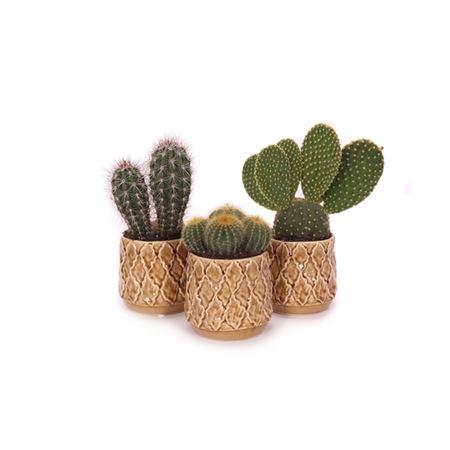 <h4>Cactus Gooding 10,5 Cm</h4>