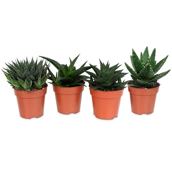 <h4>Aloe/haworthia mix premium</h4>