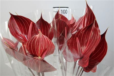 <h4>Anthurium A Safari</h4>