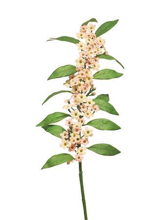 <h4>Euphorbia fulgens Quinette 81cm pink</h4>