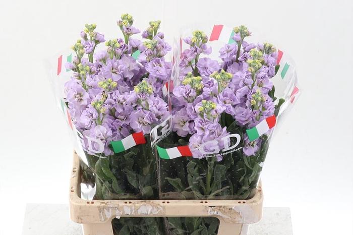 <h4>Matth Phantom  Lavender ( G  )</h4>