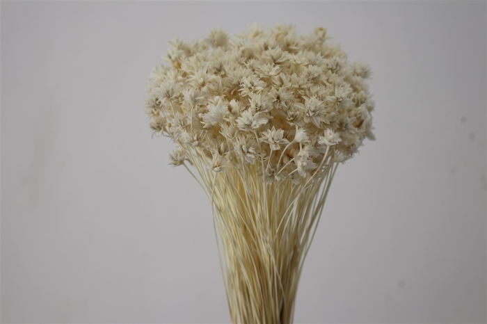 <h4>Pres Hill Flower Bleached</h4>